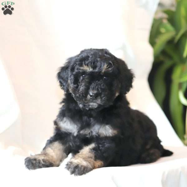 Harley-F1B, Mini Goldendoodle Puppy