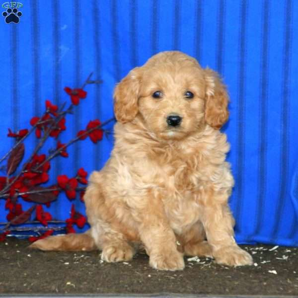 Harper, Mini Goldendoodle Puppy