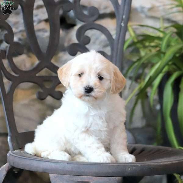 Holly-F1B, Mini Goldendoodle Puppy