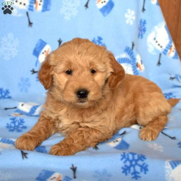 Honey, Mini Goldendoodle Puppy