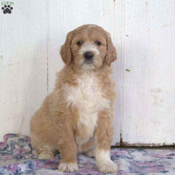 Honey, Goldendoodle Puppy