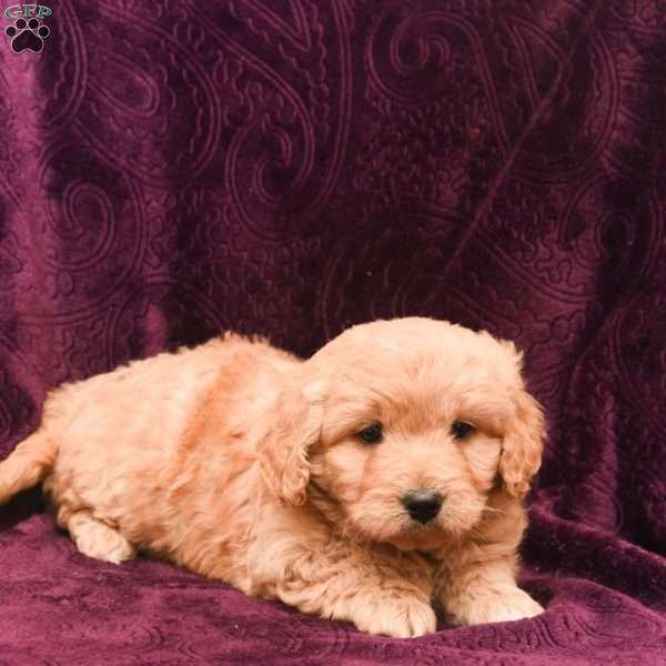 Ian-F1B, Mini Goldendoodle Puppy