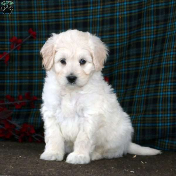 Jaden, Mini Goldendoodle Puppy