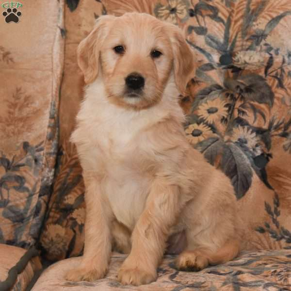 Kendra, Goldendoodle Puppy