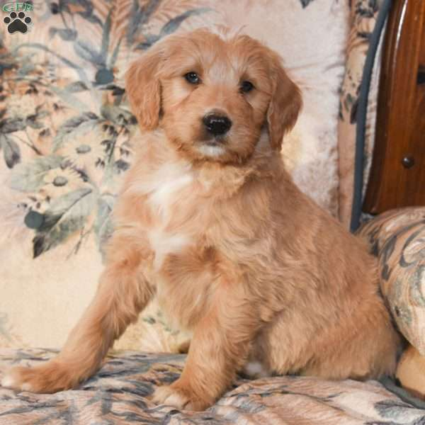 Kenny, Goldendoodle Puppy