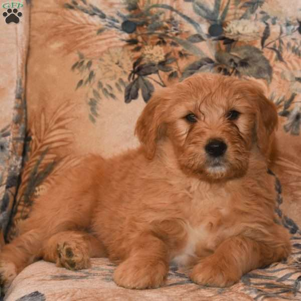 Kyle, Goldendoodle Puppy