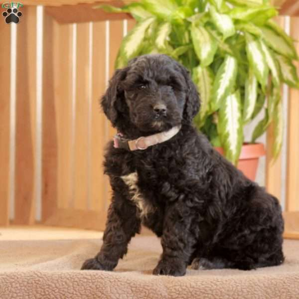 Lacey, Goldendoodle Puppy