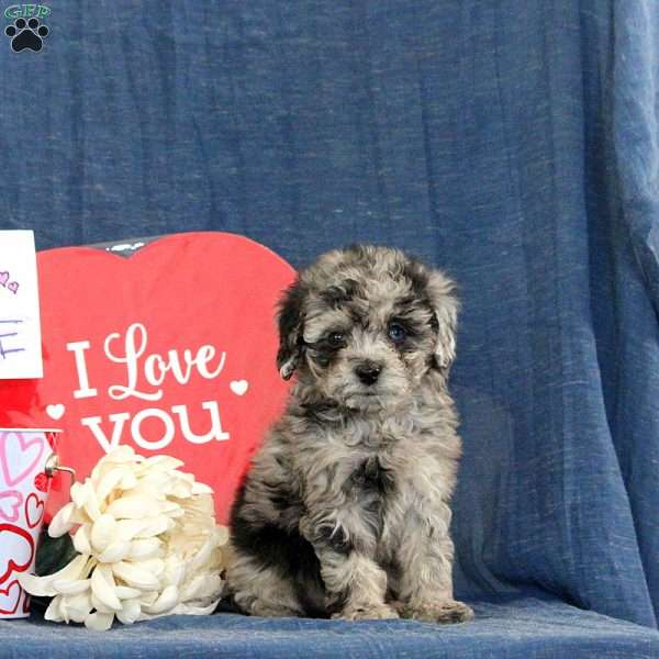 Lanae, Toy Poodle Puppy