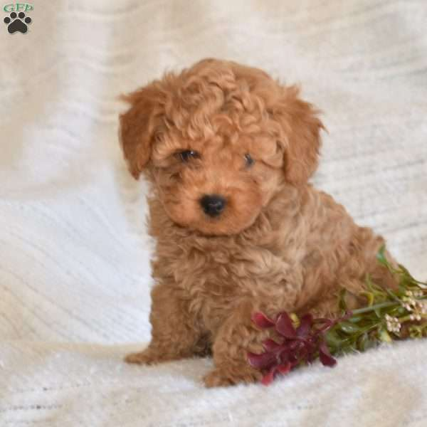 Larry, Toy Poodle Puppy
