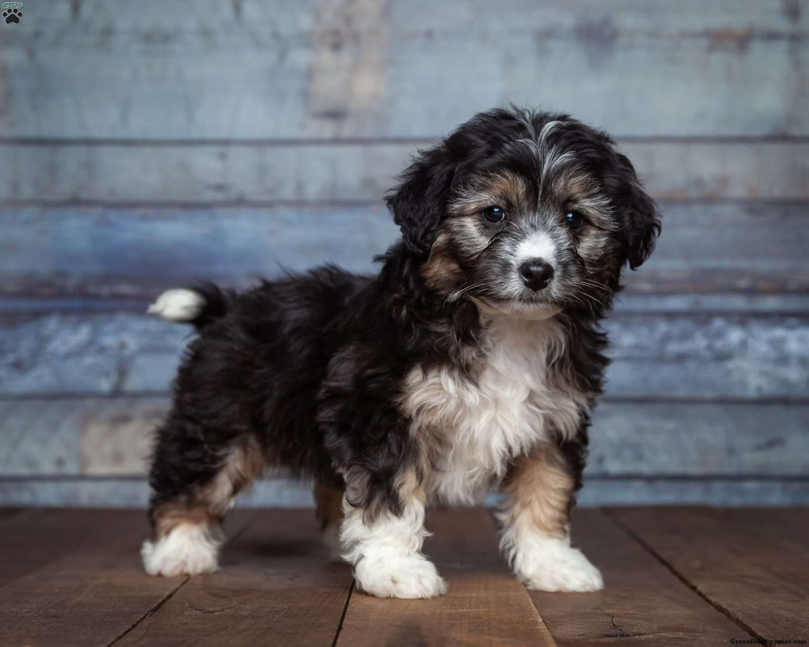 Levi - Miniature Aussiedoodle Puppy For Sale in Michigan