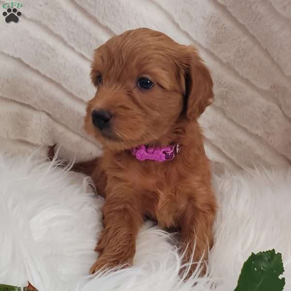 Lilly-F2, Goldendoodle Puppy