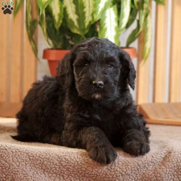 Lincoln, Goldendoodle Puppy
