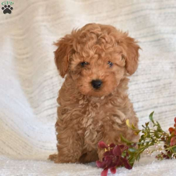 Link, Toy Poodle Puppy
