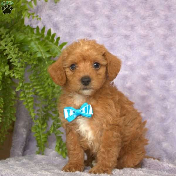 Lucky, Miniature Poodle Puppy