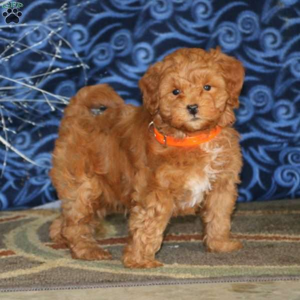 Marble, Mini Goldendoodle Puppy