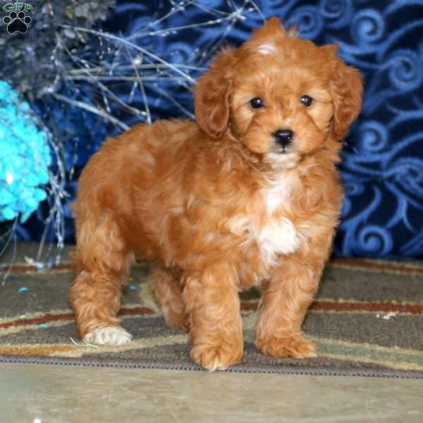 Marisa, Mini Goldendoodle Puppy