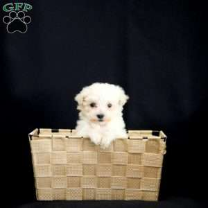 Miles, Toy Poodle Puppy