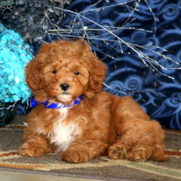 Muffin, Mini Goldendoodle Puppy