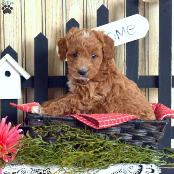 Nellybelle-F1B, Mini Goldendoodle Puppy