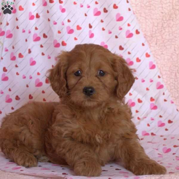 Paisley, Mini Goldendoodle Puppy