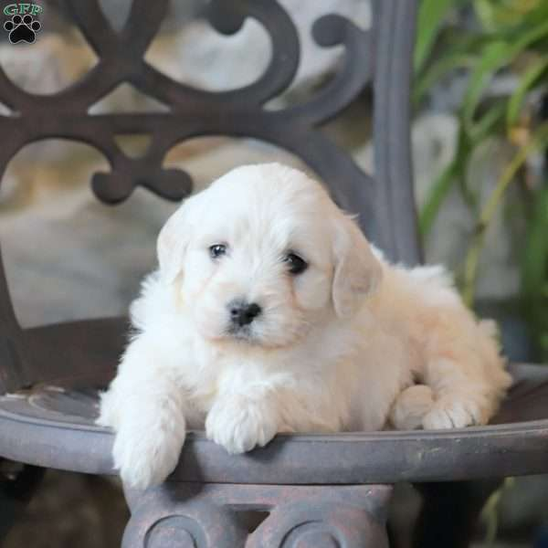 Pearl, Mini Goldendoodle Puppy