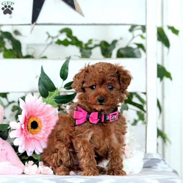 Penny, Toy Poodle Puppy