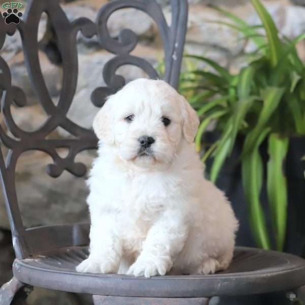 Pepper, Mini Goldendoodle Puppy