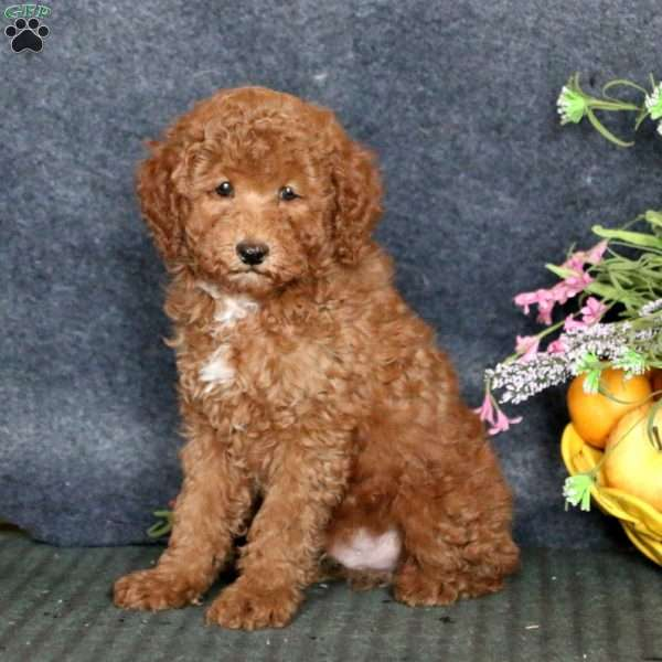 Riley, Miniature Poodle Puppy