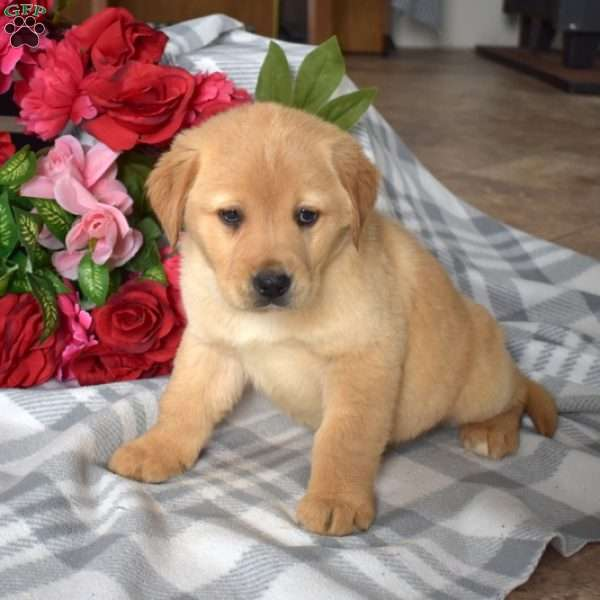 Sarge, Golden Labrador Puppy
