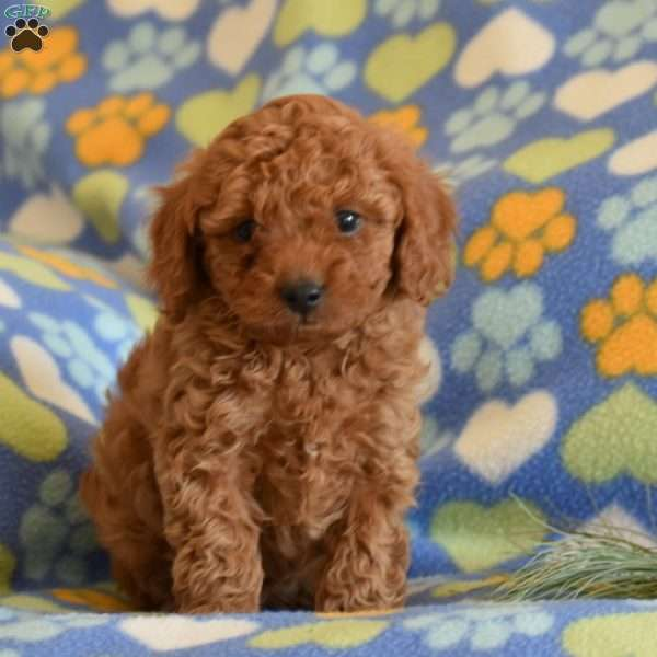 Scamper, Toy Poodle Puppy
