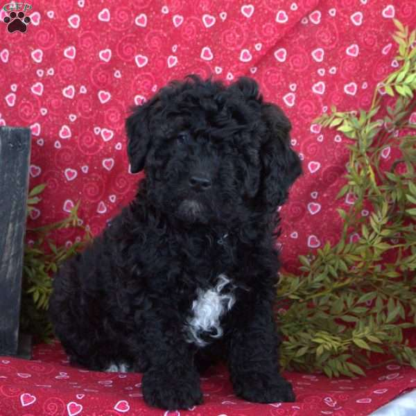 Shadow, Miniature Poodle Puppy