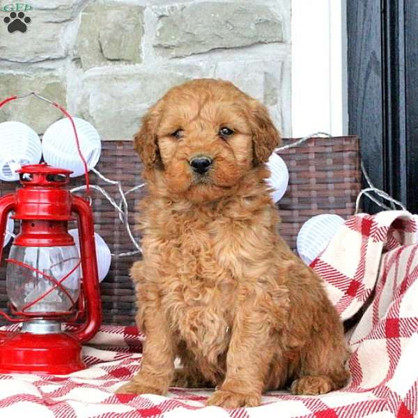 Shadow, Mini Goldendoodle Puppy
