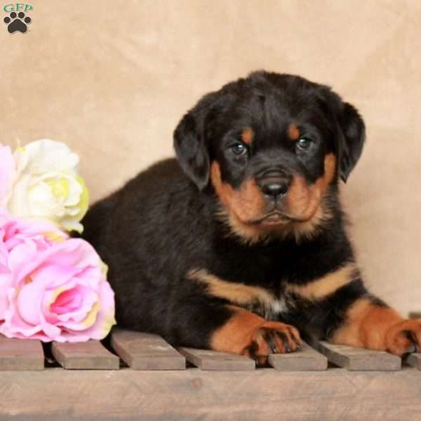 Shelby, Rottweiler Puppy