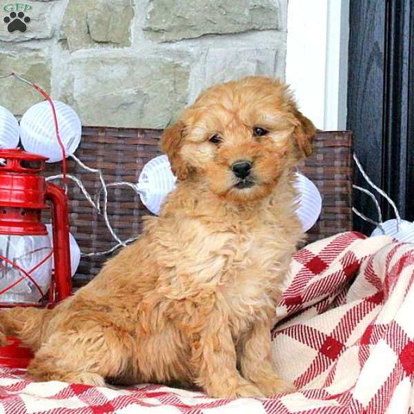 Shirley, Mini Goldendoodle Puppy