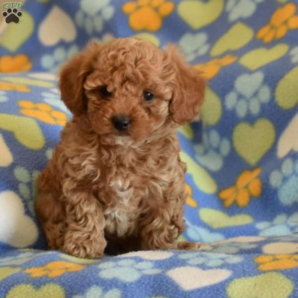 Sid, Toy Poodle Puppy