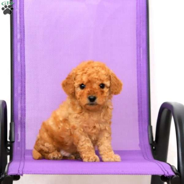 Skittles, Toy Poodle Puppy