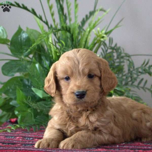 Spike-F1B, Mini Goldendoodle Puppy