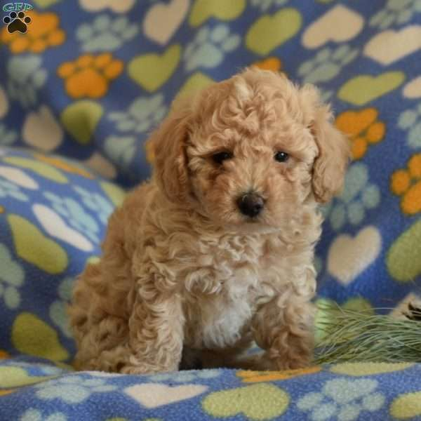 Star, Toy Poodle Puppy