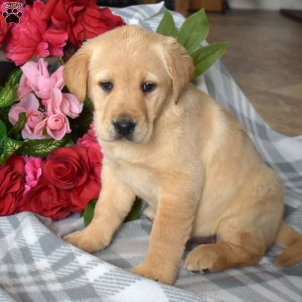 Sweetie, Golden Labrador Puppy