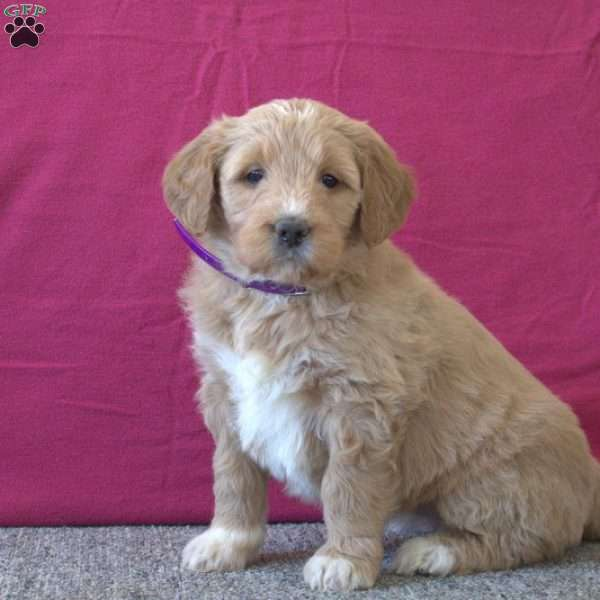 Tabby, Goldendoodle Puppy
