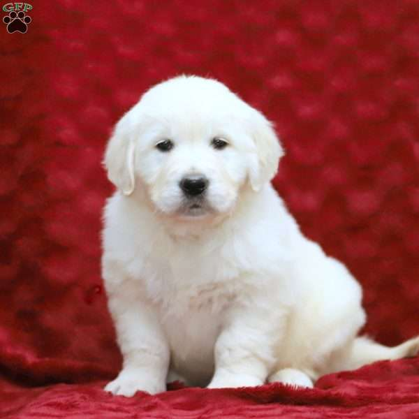 Tasha, English Cream Golden Retriever Puppy