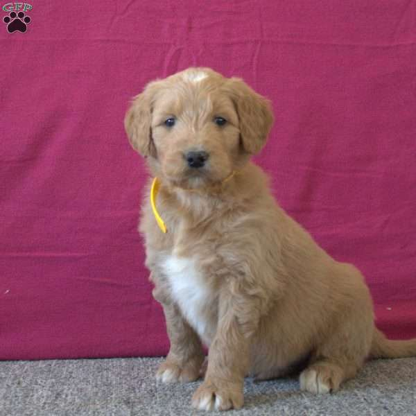 Teddy, Goldendoodle Puppy