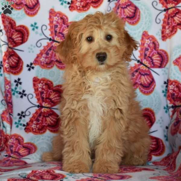 Thatcher, Mini Goldendoodle Puppy
