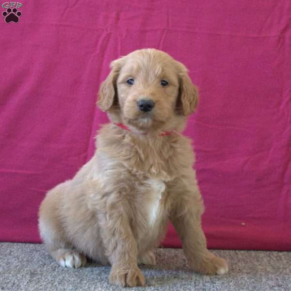 Theo, Goldendoodle Puppy