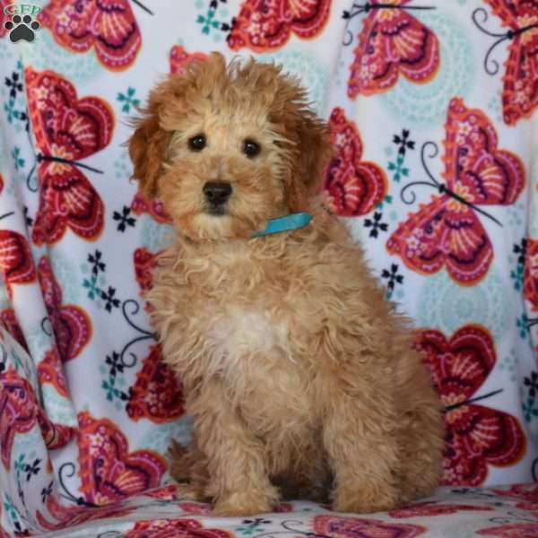 Timmy, Mini Goldendoodle Puppy