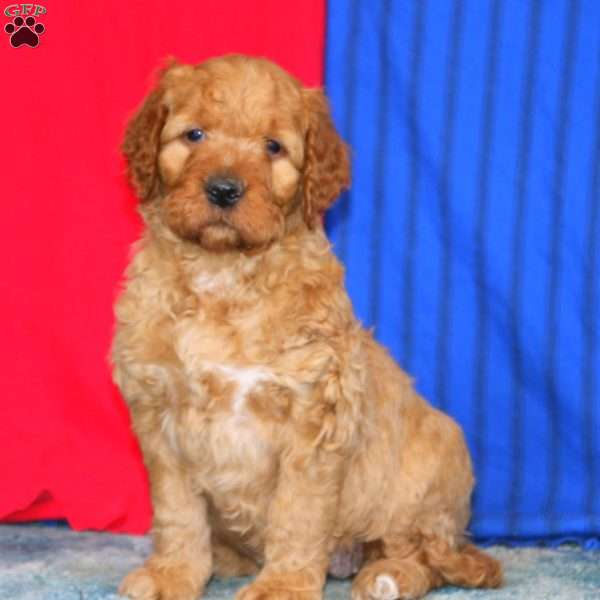Toffey, Goldendoodle Puppy