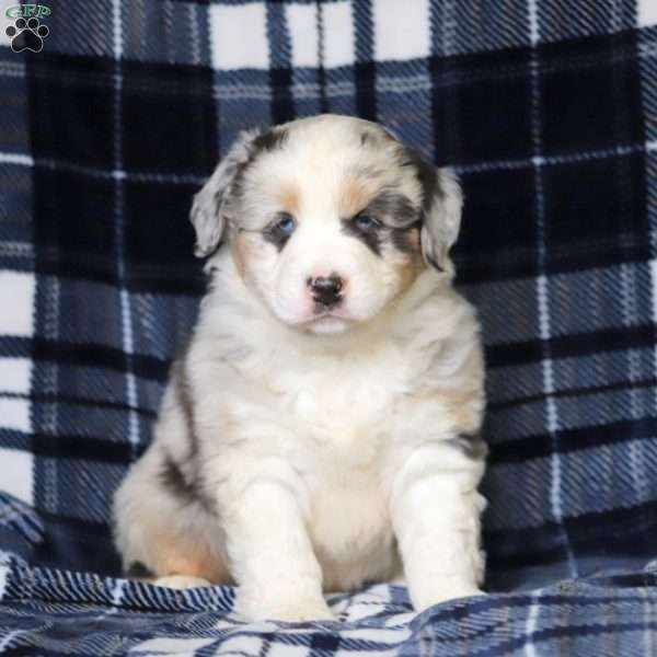 Trooper, Australian Shepherd Puppy