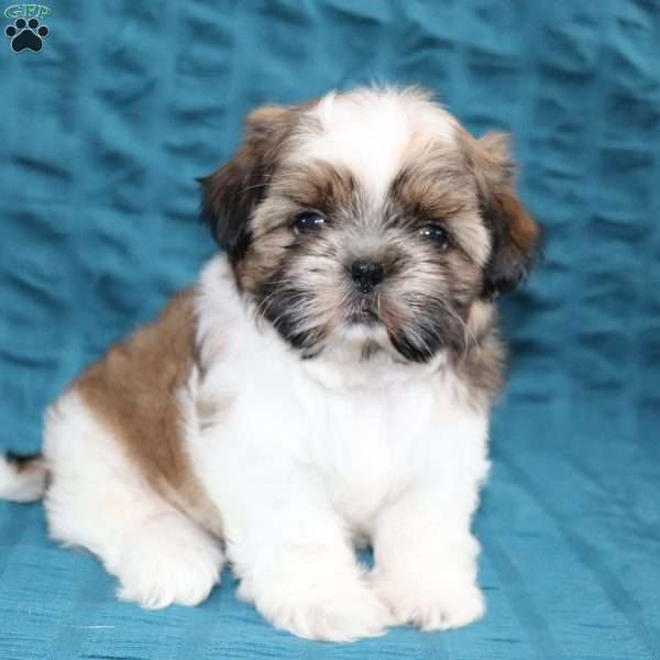 Tucker, Shih Tzu Puppy