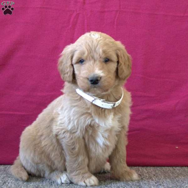 Tyler, Goldendoodle Puppy