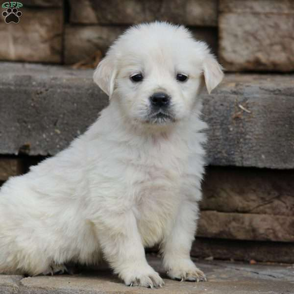 Watson, English Cream Golden Retriever Puppy